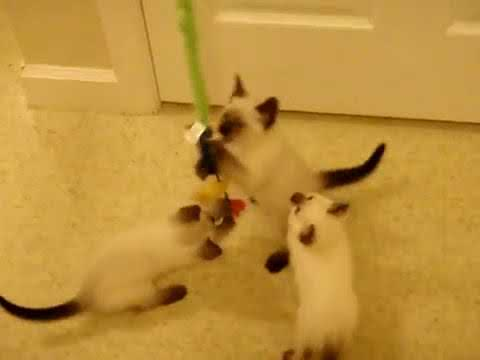 Fish Wand Toy- ninja kitten playing funny cute video- siamese cat babies