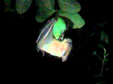bat eating guava(perakka)