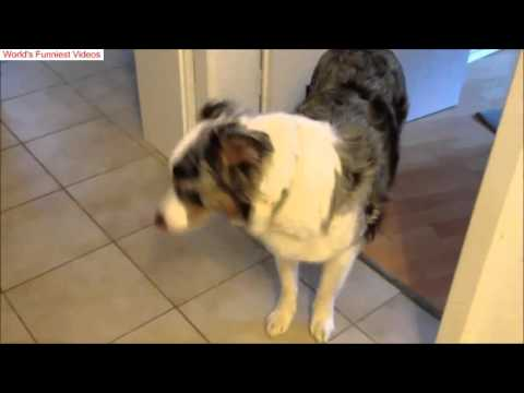 Funniest Australian Shepherd Videos EVER