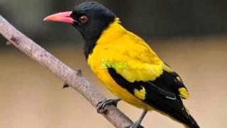 Suara Burung Kepodang Kerudung Hitam