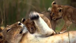 Felinos de Africa - Trailer Español Latino - HD