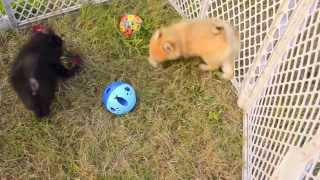 Gambar cover Fur and Paws - Purebred Pomeranian Puppies Simba and Pepper