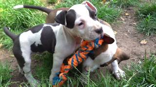 Милые щенки. Стаффордшир и Русский той. Cute puppies. Staffordshire Terrier.