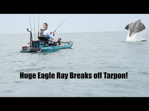 Huge Eagle Ray goes Airborne