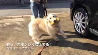 ゴールデンレトリバー女の子6歳 はっちの奮闘記http://mebarukasago.blo...