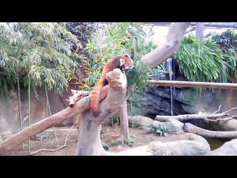 動物園 2(Zoo 2)‐#5 レッサーパンダ(Red Panda) 食べて寝る(eat and sleep)