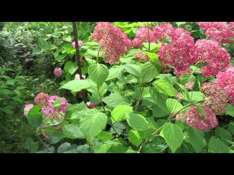 Июль 2015г  Цветение гортензий в моём саду
