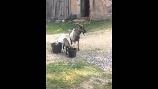 Moje kozy