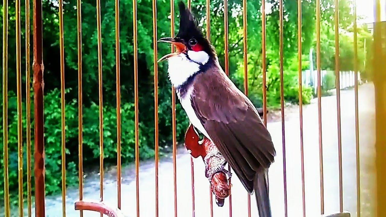 นกกรงหัวจุก ริก ริก ริก 4 bulbul birds  red-whiskeres