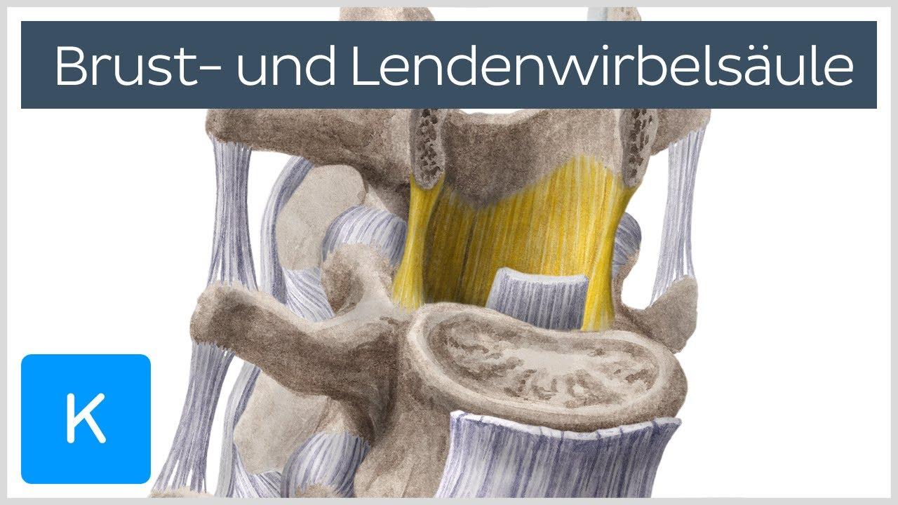 Brust- und Lendenwirbelsäule - Knochen - Anatomie des Menschen ...