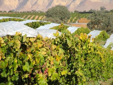 Current State of the Table Grape Industry with Barry Bedwell