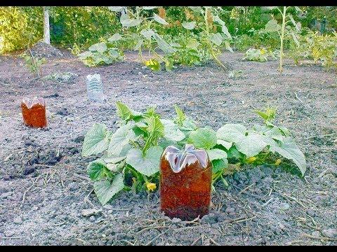 Как подготовить и установить пластиковые бутылки для полива огурцов