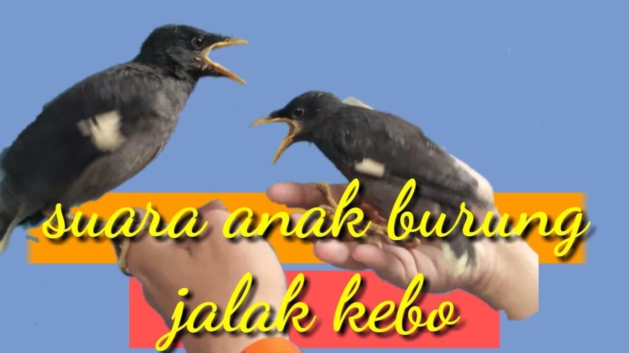Suara Anak Jalak Kebo Untuk Pikat Burung Jalak Kebo Indukan Youtube