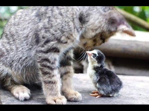 生�れ�ヒヨコ�猫を�親�勘���仲良�猫��よ�♪】