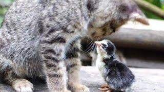 生まれたヒヨコが猫を母親と勘違い【仲良し猫とひよこ♪】
