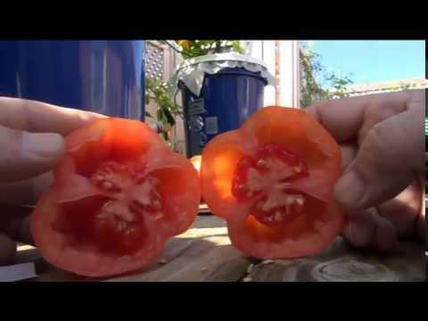 ➯ SCHIMMEIG Striped Hollow - Tomato another stuffing tomato!