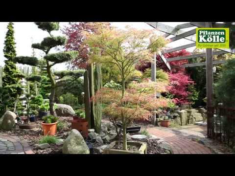 Gartengestaltung japanischer ahorn i pflanzen k lle youtube for Gartengestaltung pflanzen