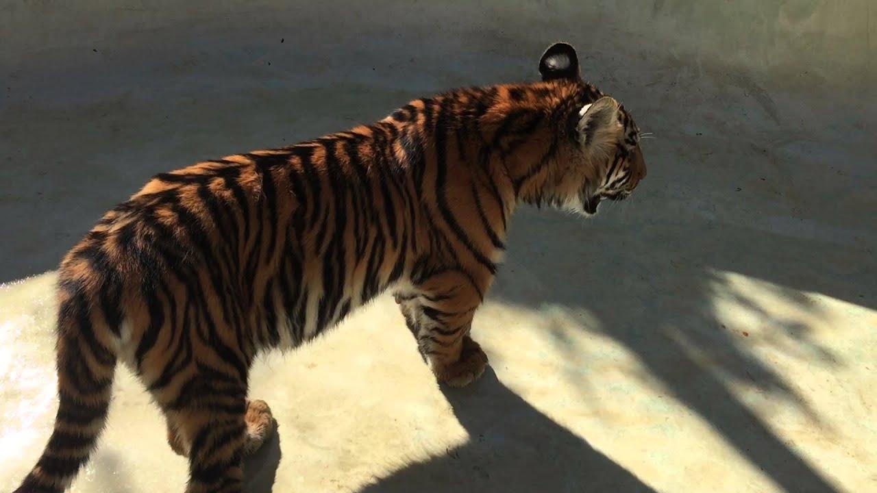Game Tiger
