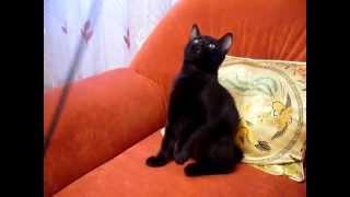 Чёрный котёнок Курильский бобтейл