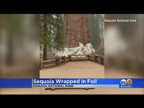 Worlds-Largest-Tree-Wrapped-In-Foil-To-Protect-It-From-Wildfire