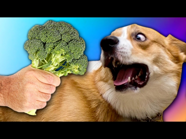 CORGI PUPPY DOG REACTS TO BROCCOLI