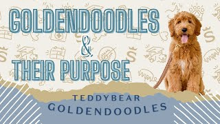 Insight Into Our Goldendoodle Breeding Program!