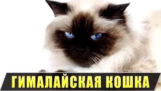 Порода кошек. Гималайская кошка.Пышное тело,красивый пушистый хвост.
