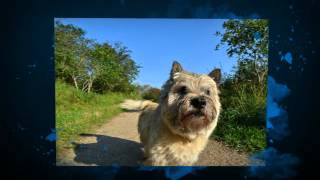 Cairn Terrier Puppy Training