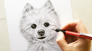 Drawing Pomeranian dog Cotton - pet portrait | Leontine van vliet