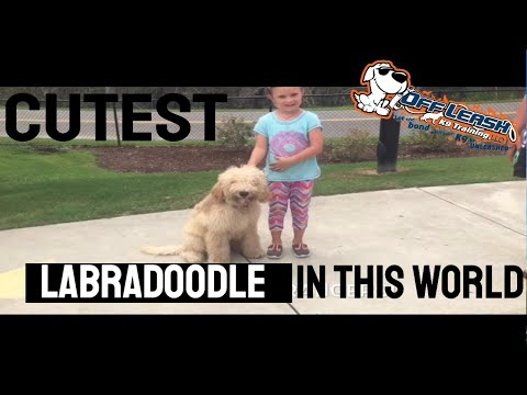 6 month old Labradoodle, Blue! | Before & After | Labradoodle Dog Trainers | Myrtle Beach, SC