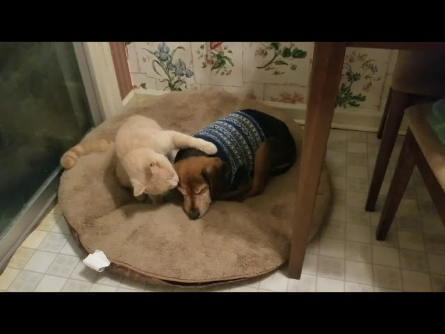 Cat Comforts Blind Sick Dog – 1011784