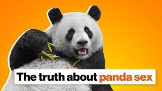 The truth about panda sex | Lucy Cooke
