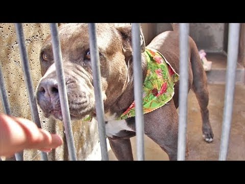 Pitbull Adopted From High-Kill Shelter In California