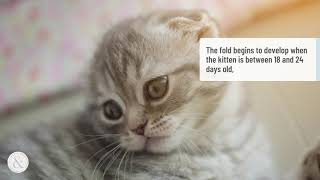 5 Surprising Facts About Scottish Fold Cats
