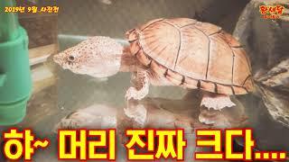 [반수생거북] 레이저백 머스크터틀! 새콤이의 9월사진