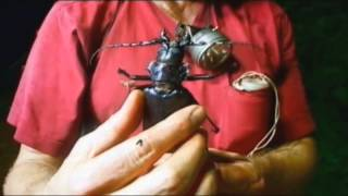 The biggest beetle in the world-Titan beetle