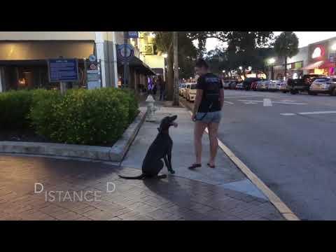 "1 Year Old Weimaraner ""Rosie"" | Space Coast Dog Trainers | Brevard Dog Trainers |"