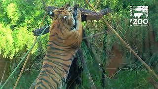 Malayan Tigers get Some Fun Enrichment - Cincinnati Zoo