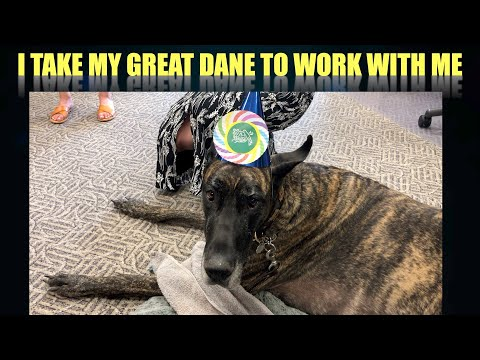 I take Magic the Great Dane to work with me