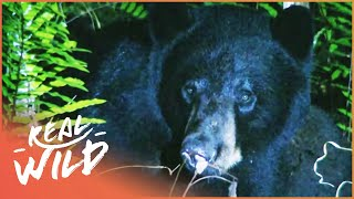 Tracking Bears In The Wild (Wildlife Documentary) Savage Wild | Real Wild