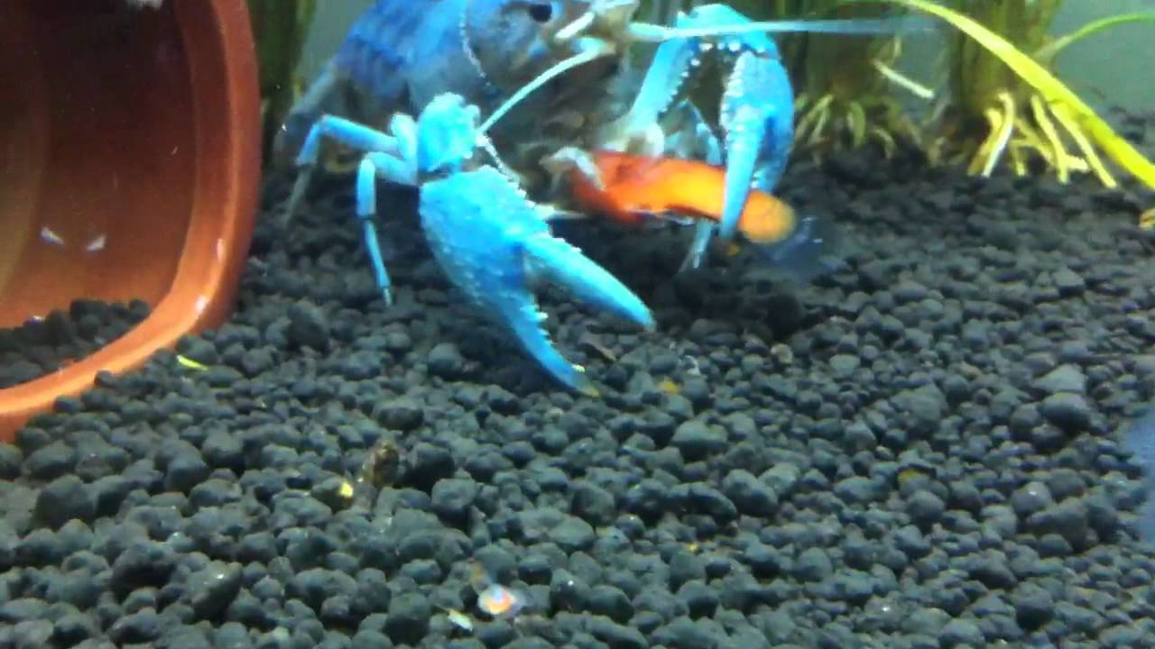 Blue Lobster Eating My Platy Youtube
