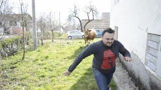 Omču i Mecu napala krava na snimanju filma