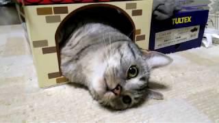 ねこのきもち cardboard box Munchkin Cat