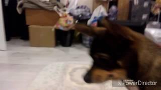 Собака Макс играется