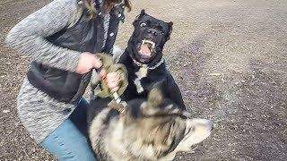 Драка собак | Дрессировка хаски на выстрел