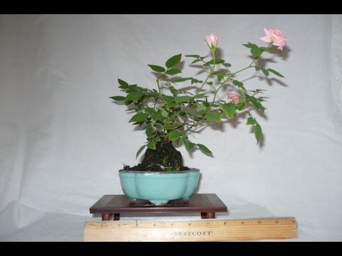What Is Special About Miniature Rose Bonsai Youtube