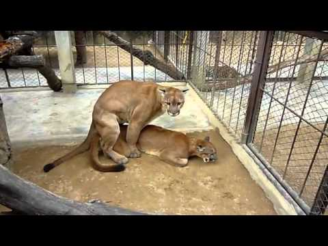 Two Tigers Mating    YouTube