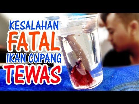Penyebab Ikan Cupang MATI, ini Alasannya !!!