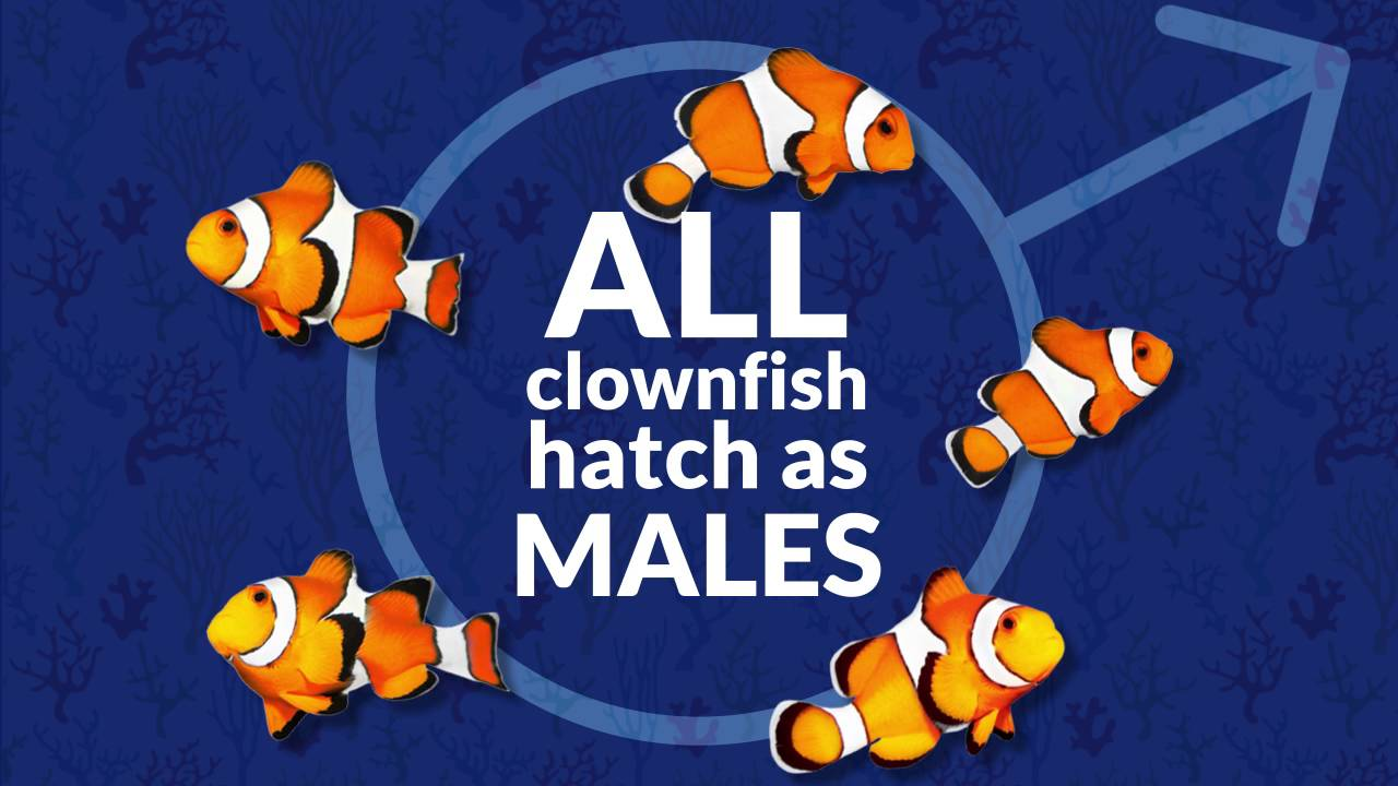 Amazing Clownfish Facts - YouTube
