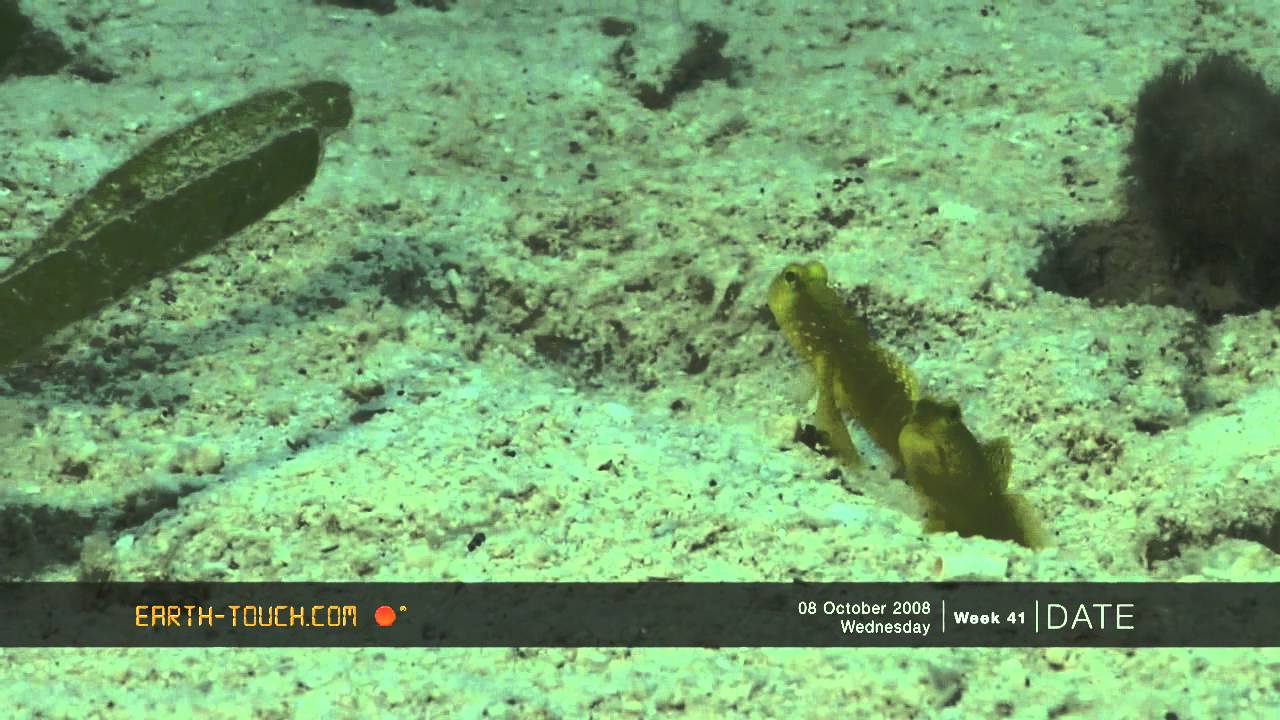 Goby Fish | Funny Goby Fish Shares Its Home With A Shrimp Youtube